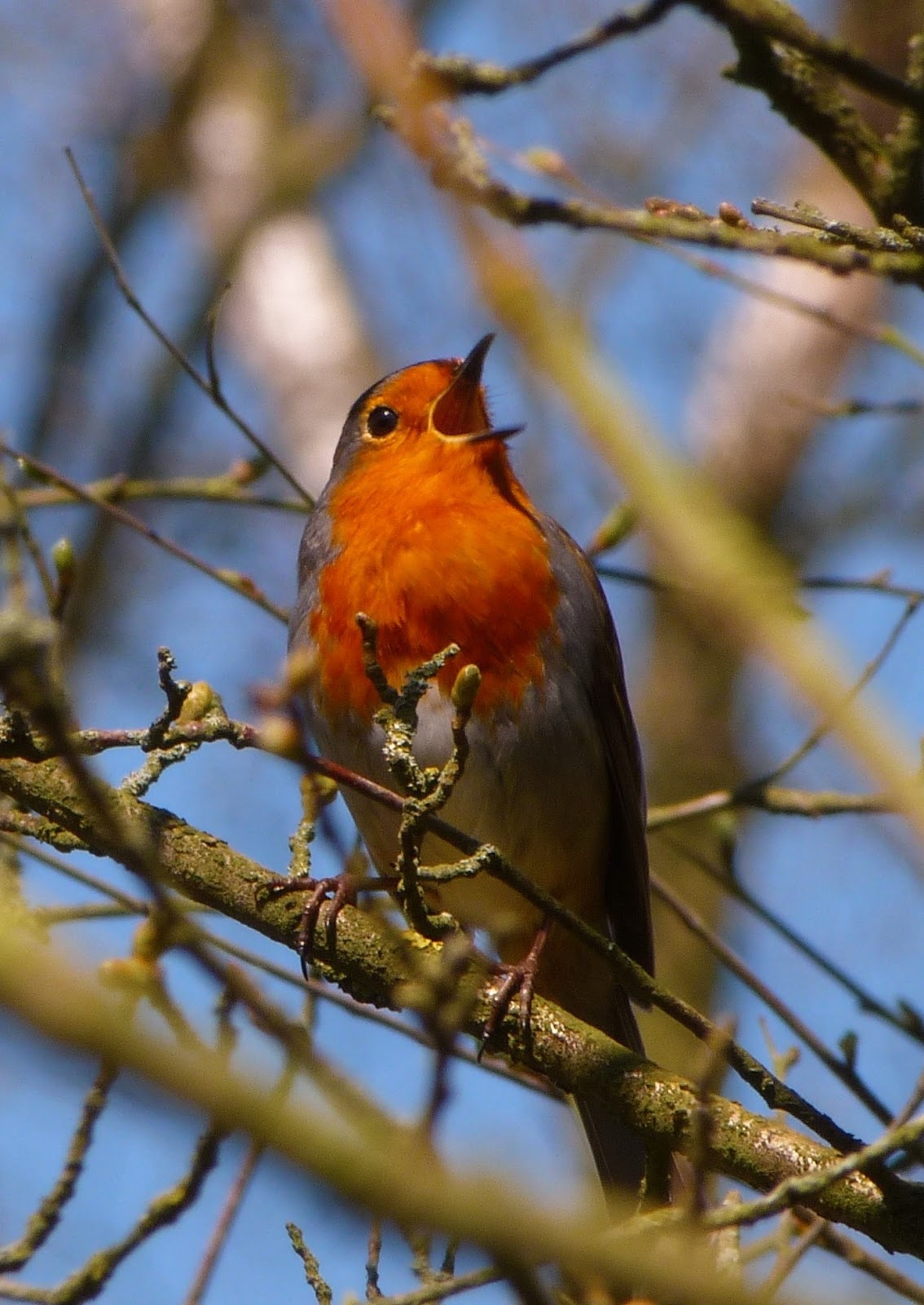 Picture of a robin bird singing.