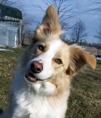 Funny Animals Funny Pictures Brown Border Collie Pics 2012