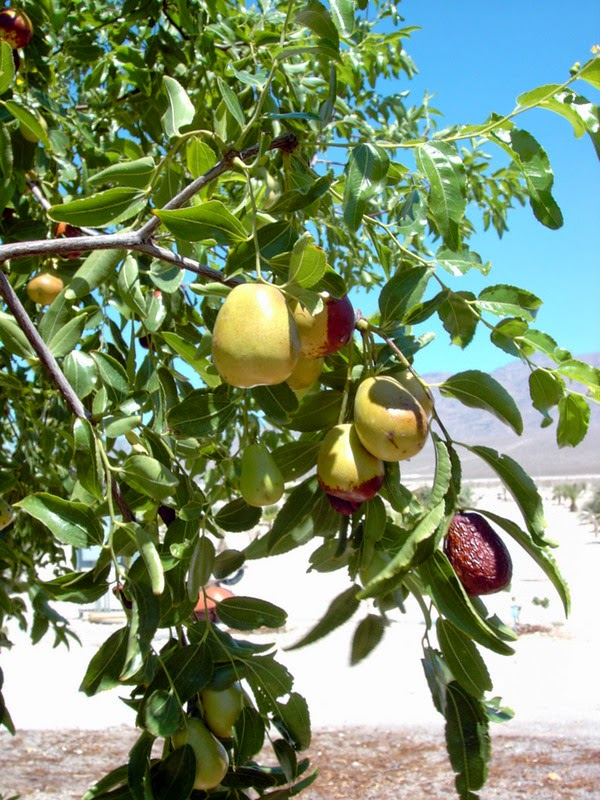 Xtremehorticulture of the Desert: Jujube Good Choice for Desert