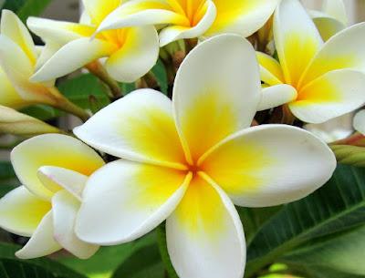 Manfaat Bunga Kamboja Didalam Minyak Varash 2