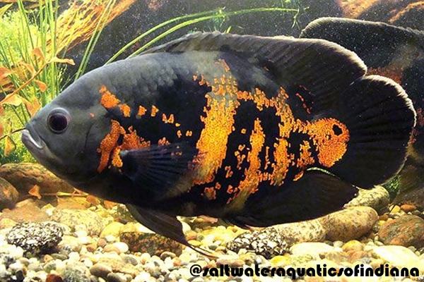 Gambar Ikan Oscar Tiger