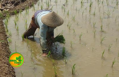 FOTO : Mih Una sedang ngayuman padi disawah Cibandung.