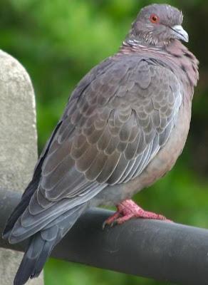 Foto de una paloma gorda o preñada