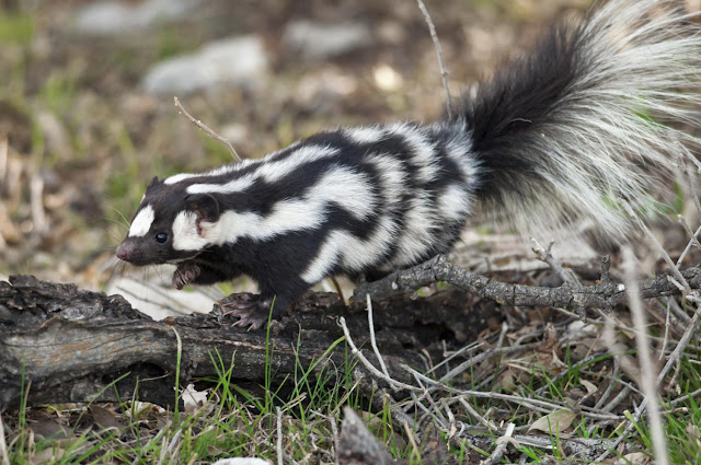 Spotted skunk evolution driven by climate change