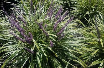 Future Plants By Randy Stewart Liriope Mondo Grass