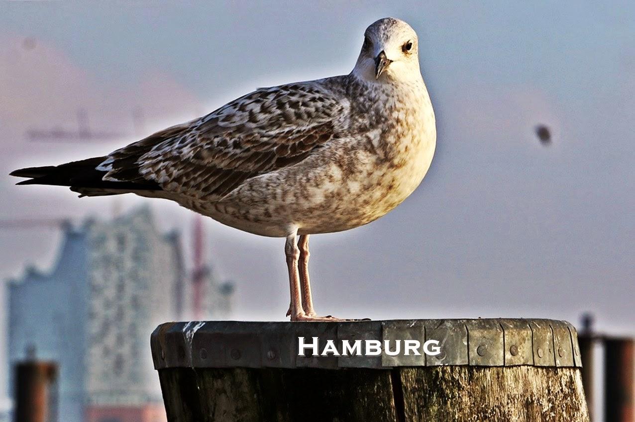 Hamburg entdecken, Möwe am Hamburger Hafen