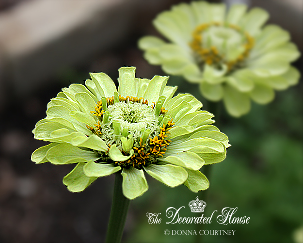 The Decorated House ~ Donna - Lime Green Zinnias : Green Envy