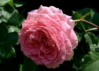 Jubilee Celebration роза сорт фото купить саженцы в Минске