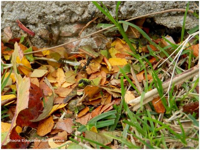 Hormigas cortando hojas secas - Chacra Educativa Santa Lucía