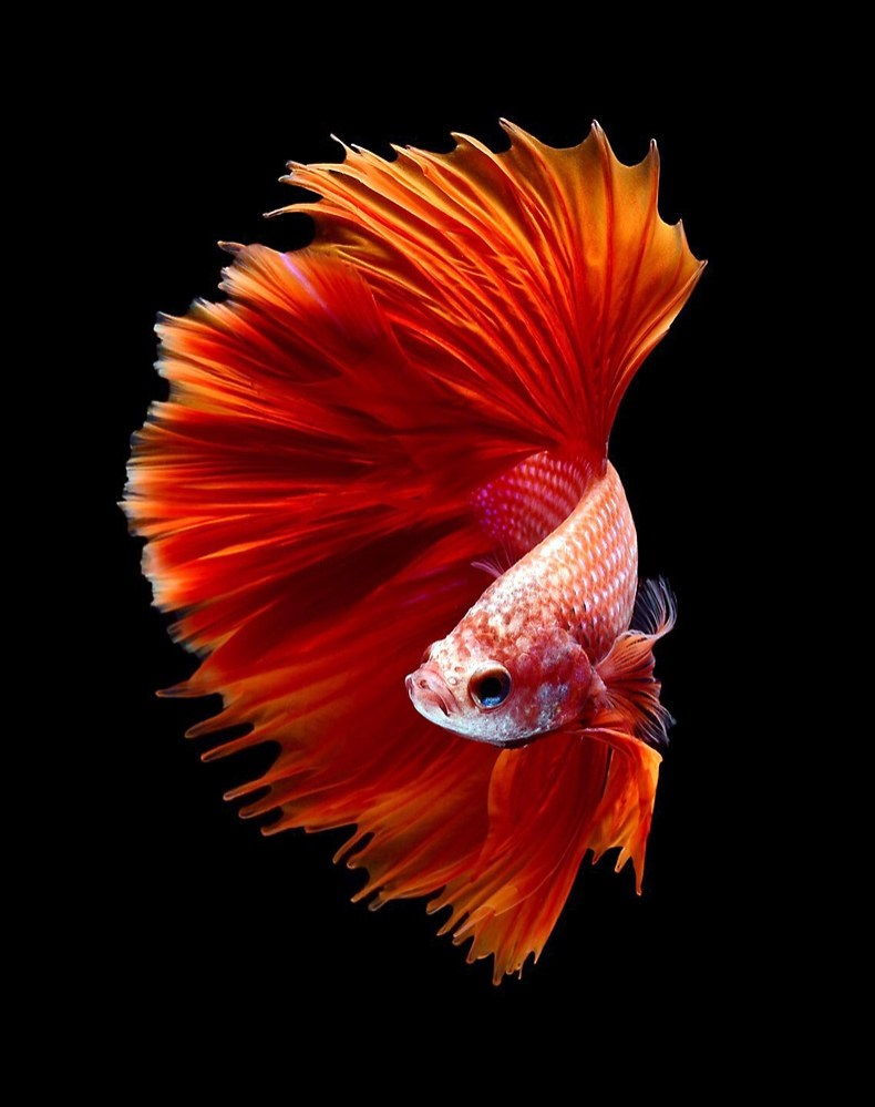 The Basic Facts of Feed Bettas