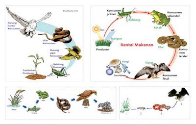 24 Contoh Rantai Makanan dari Berbagai Ekosistem, Gambar, dan Penjelasannya