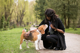 A beagle makes eye contact with its owner. A DRI like 'watch me' is a good alternative to negative reinforcement in dog training