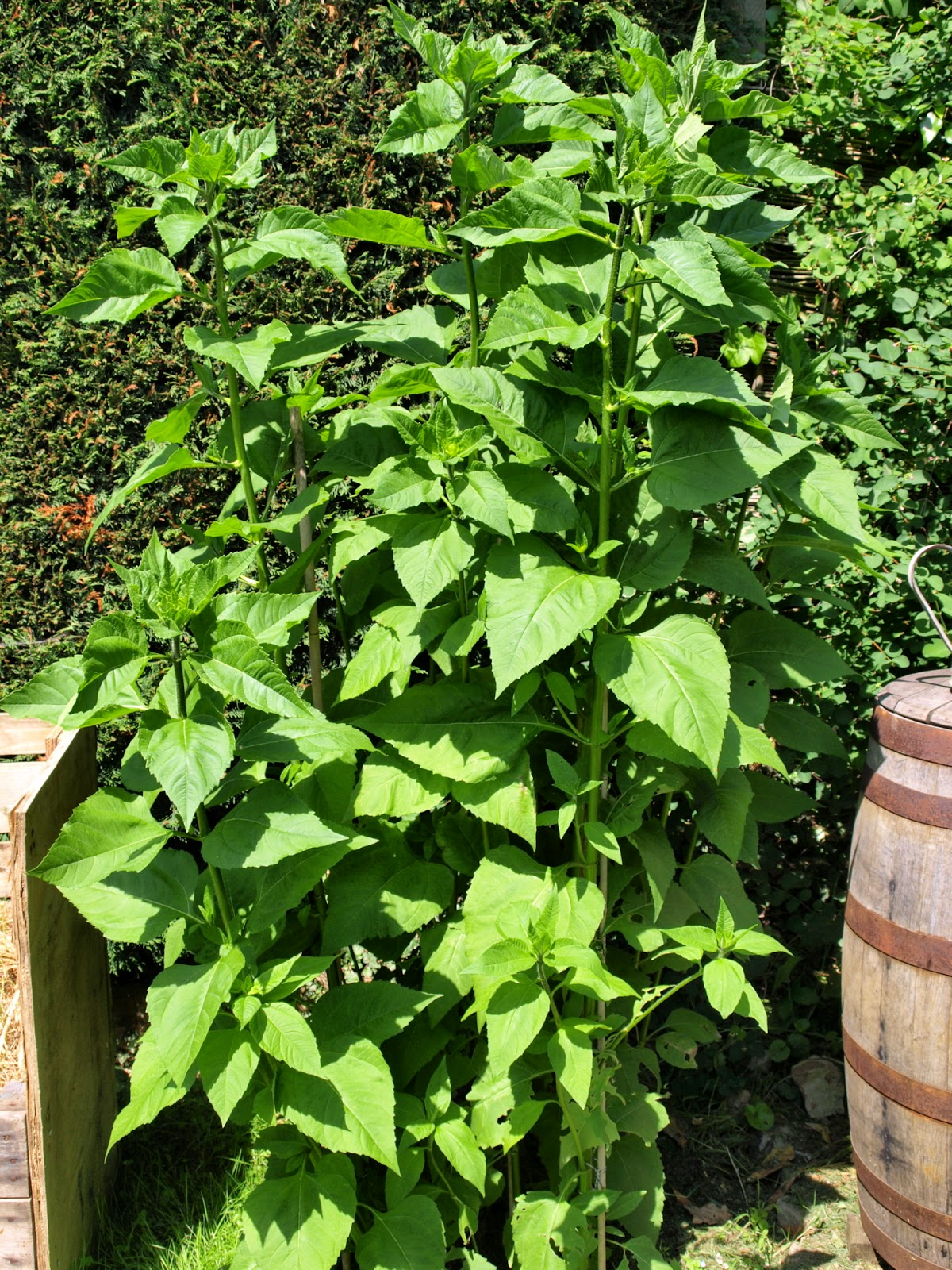 An image of Jerusalem artichoke (Helianthus tuberosus) plants