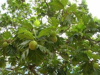 daun sukun digunakan untuk mengobati