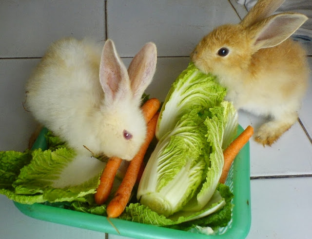 Cara Merawat Kelinci dan Tips Kesehatannya