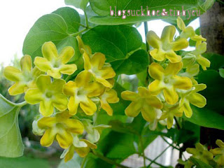 công dụng chữa bệnh lớn lao của hoa thiên lý