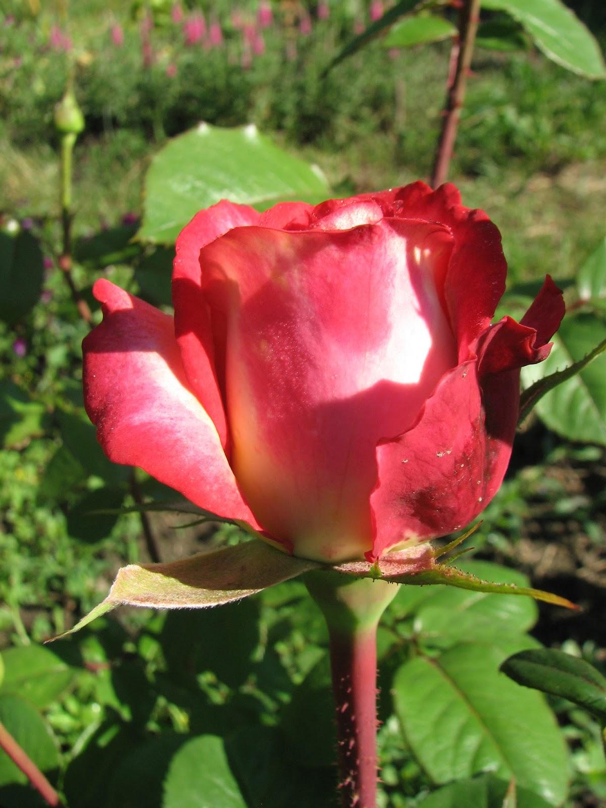 бьюти роза фото