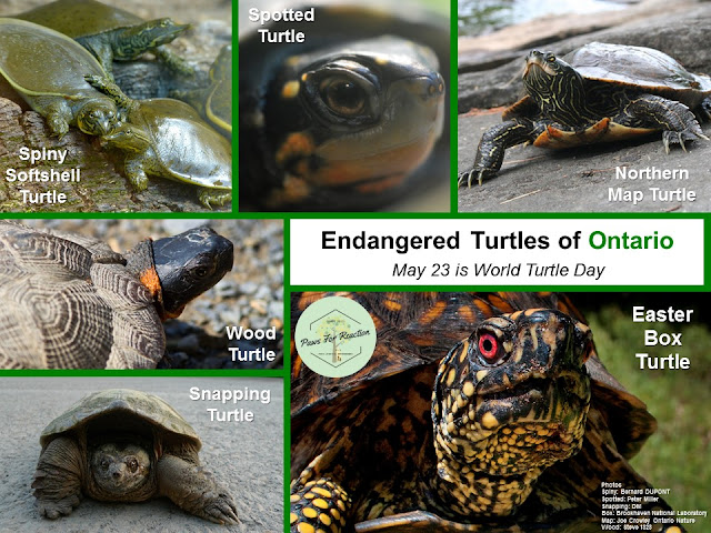 World Turtle Day Endangered Turtles of Ontario May 23