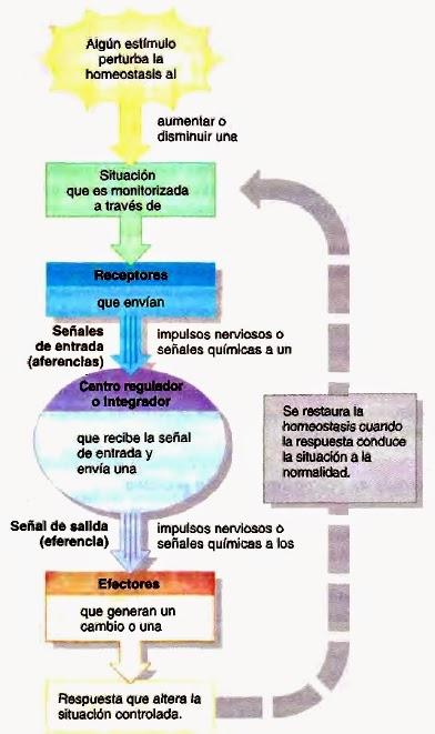 Control de la homeostasis: sistemas de retroalimentación y ...