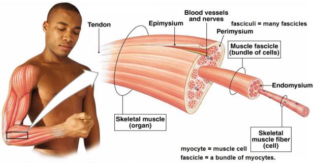 شرح آلية انقباض العضلة الهيكلية والمخطط - بالفيديو skeletal-muscle