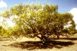 Mengenal Mangrove : Avicennia eucalyptifolia
