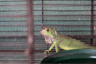 Iguanna for sale in pet store in Puriscal.