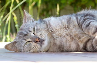 Greay cat laying outside