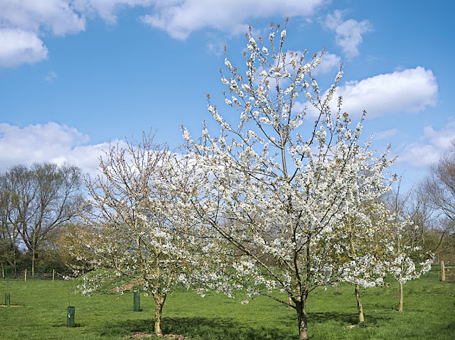 White blossom on trees in orchard