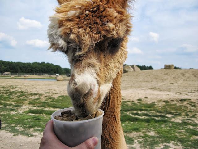 Feeding an Alpaca