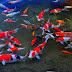 Ghé thăm thủ phủ cá koi ở Nhật Bản