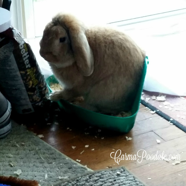 Lop Eared rabbit using a litter box