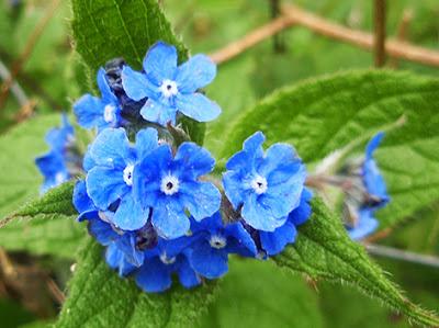 Flores azules de Pentaglotis sempervirens