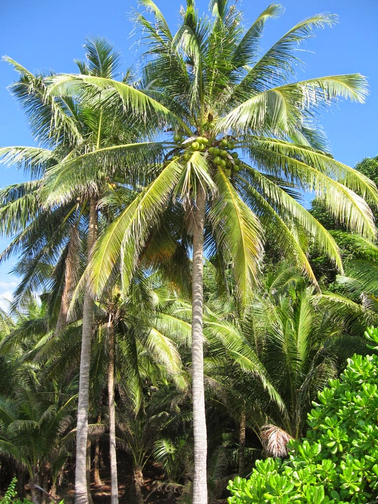 Ciri Ciri Manfaat Dan Deskripsi Pohon Kelapa Coretan Wong Ndeso