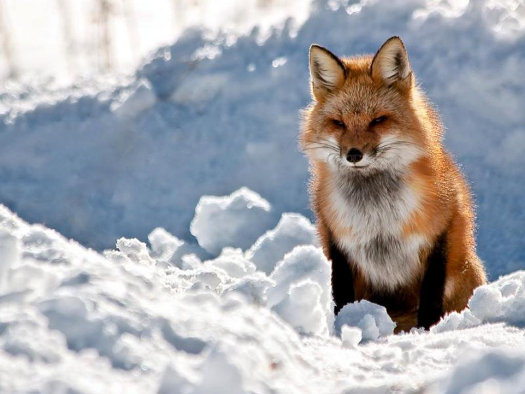 http://3.bp.blogspot.com/-Jd5gCnoSVIU/US4a5aJd3mI/AAAAAAAAHlg/nxgFhmDZNko/s1600/Red-Fox-Wallpaper+05.jpg
