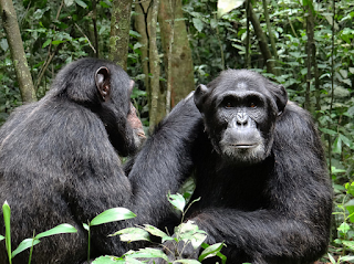 "rwanda gorillas and chimps tour, rwanda primates tour, rwanda chimpanzee tour, nyungwe tour, nyungwe forest chimps trek, rwanda gorillas primates tour, rwanda nyungwe and gorillas tour, gorillas and chimps rwanda, primates rwanda, 4 days tour rwanda, rwanda gorilla tour, gorilla rwanda, volcanoes rwanda, mountain gorillas chimpanzee,nyungwe primates tour""/>"