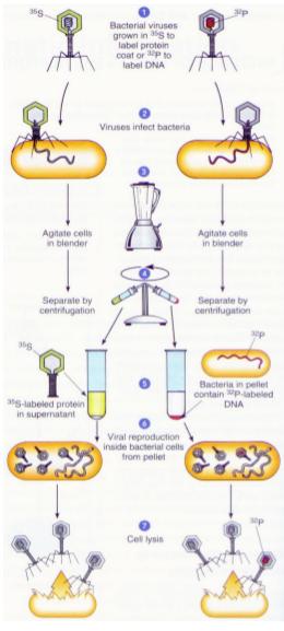an para jago mempelajari susunan kimia gen melalui pendekatan biofisik dan biokimia DNA Sebagai Materi Genetik