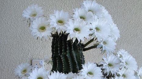 Кактусы_комнатные_растения_цветение