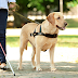 How Can I Turn My Pet Dog into a Service Dog?