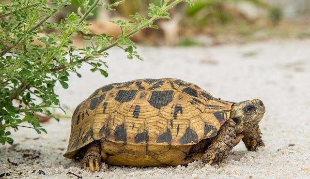Rùa Bản Lề - Hingeback Tortoise