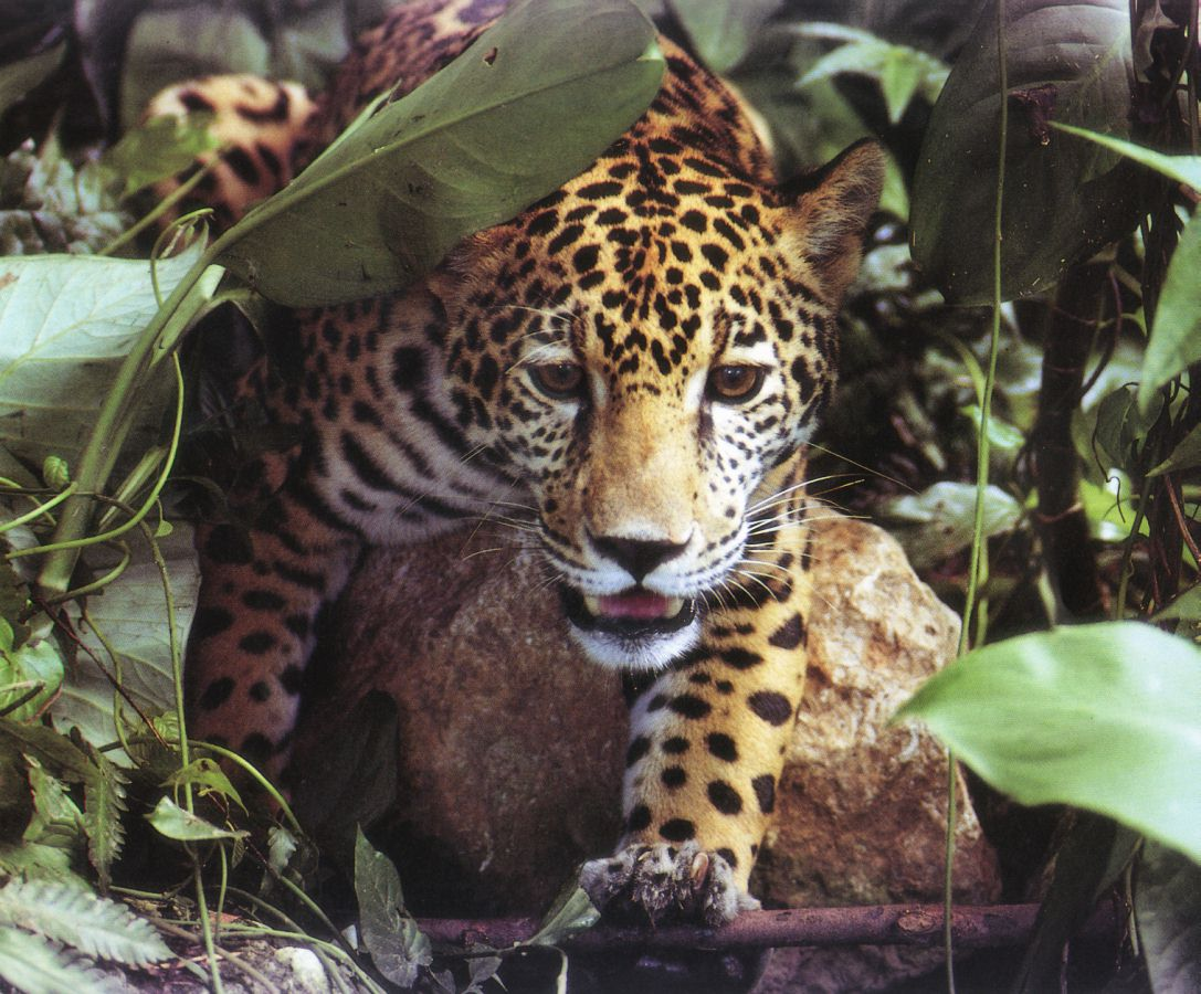 The Mysterious Jaguar