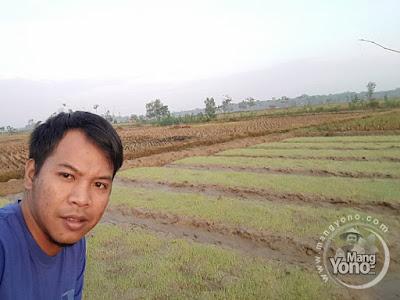 FOTO 1 : Tanaman Padi TRISAKTI MANGYONOcom Milik Eko Defrianto, S.Pd dipenyemaian untuk MT3 ( musim tanam ke-3) Umur 4 HSS