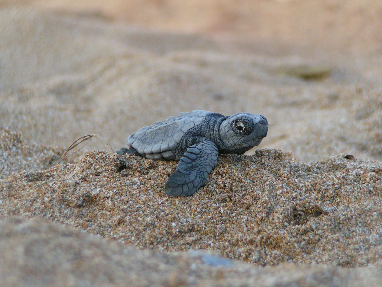 The Baby Turtle | Free National Geographic Pix - photo#37