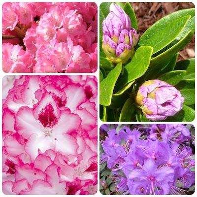 Rododendron, różanecznik, azalie - jak pielęgnować, nawozić, sadzić i rozmnażać cz.1