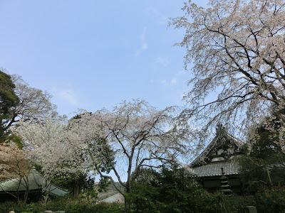 安国論寺の枝垂桜