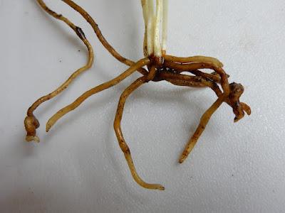 瓶爾小草的肉質根