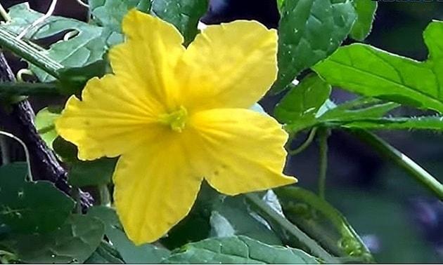 Melão-de-são-caetano (Momordica charantia).