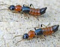 serangga tomcat