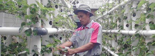 Dengan vertikultur ratusan stroberi tumbuh di lahan sempit di Kota Batu
