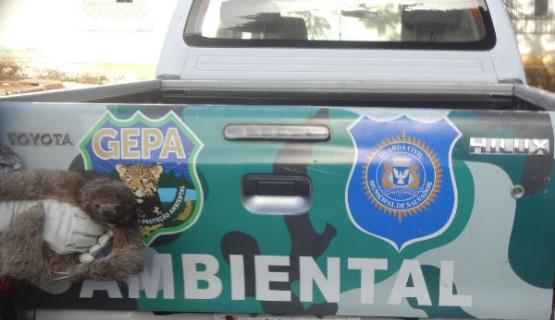 Guarda Civil Ambiental de Salvador (BA) resgata 14 tartarugas e um bicho preguiça