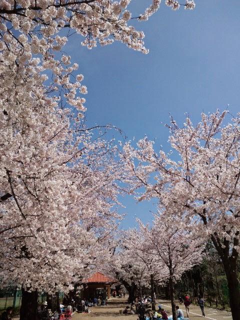 東京都世田谷区 羽根木公園 桜満開